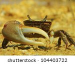 Male Red Jointed Fiddler Crab ...