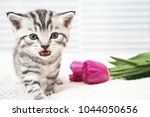 Stock photo the kitten meows shouts purebred kitten baby kitten 1044050656