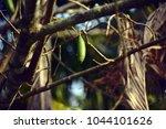 ceiba pentandra or 'buah kekabu'... | Shutterstock . vector #1044101626