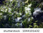 ceiba pentandra or 'buah kekabu'... | Shutterstock . vector #1044101632