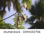 ceiba pentandra or 'buah kekabu'... | Shutterstock . vector #1044102706