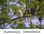 ceiba pentandra or 'buah kekabu'... | Shutterstock . vector #1044104476