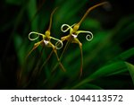 Maxillaria Fractiflexa  Ecuado...