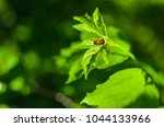 insects mating. ladybug mating... | Shutterstock . vector #1044133966