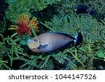 surgeonfish saltwater tangs | Shutterstock . vector #1044147526