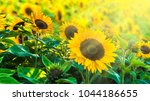 Sunflower Fiel In Sunshine