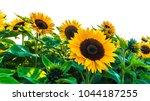 Sunflower Field On White...
