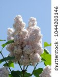 A Branch Of White Lilac
