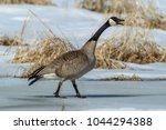 A Canadian Goose Walking On Ic...