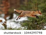 Red Fox With High Jump Above...