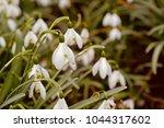 white spring snowdrops.... | Shutterstock . vector #1044317602