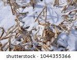 dried cornstalks beaten down by ...   Shutterstock . vector #1044355366