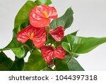 Red Anthurium In Brown Plastic...