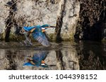 Small photo of The kingfisher feeds mainly on small fish, both adults and fry, which make up between 60 and 67% of this bird's diet. Here he returns to his roost with his freshly caught prey