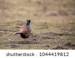 common pheasant in a meadow | Shutterstock . vector #1044419812