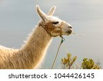 travel to bolivia  llamas are... | Shutterstock . vector #1044426145