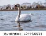 beautiful white female swan on... | Shutterstock . vector #1044430195