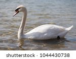 beautiful white female swan on... | Shutterstock . vector #1044430738