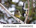 greenfinch   carduelis chloris  ... | Shutterstock . vector #1044443452