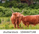 two highland cows  gently... | Shutterstock . vector #1044447148
