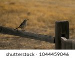 Brown Thrasher On Wooden Fence...