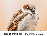 male house sparrow or passer... | Shutterstock . vector #1044473722