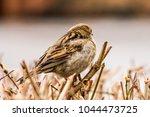 female house sparrow or passer... | Shutterstock . vector #1044473725