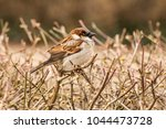 male house sparrow or passer... | Shutterstock . vector #1044473728