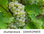 Riesling Ripe Yellow Grape....