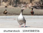 single greater white fronted... | Shutterstock . vector #1044588556
