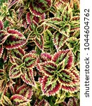 Small photo of Colorful undulate tropical leaves close up from top view for background, fabric
