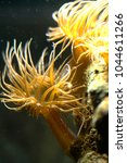 Small photo of Aiptasia or Glass anemone pest