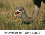 A Mature Male Ostrich Caught...