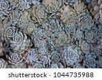 Succulent Plants Echeveria Agave