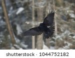 Common Raven  Corvus Corax  In...