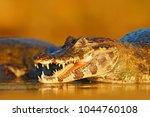 open crocodile muzzle with big... | Shutterstock . vector #1044760108