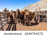 a herd of mongolian camels in... | Shutterstock . vector #1044794272