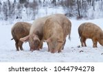 young pigs on pasture in winter | Shutterstock . vector #1044794278