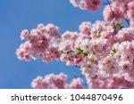 pink cherry blossom  japanese... | Shutterstock . vector #1044870496
