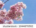 pink cherry blossom  japanese... | Shutterstock . vector #1044870502