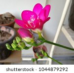 """Small photo of The plants commonly known as """"freesias"""", with fragrant funnel-shaped flowers, are cultivated hybrids of a number of Freesia species. Some other species are also grown as ornamental plants."""