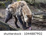 spotted hyena eating meat from... | Shutterstock . vector #1044887902