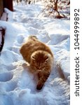 Small photo of slink creep siberian cat in sunset snow