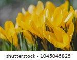 yellow crocus  crocuses or...   Shutterstock . vector #1045045825
