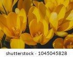yellow crocus  crocuses or...   Shutterstock . vector #1045045828