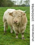 Small photo of bull of Charolais breed
