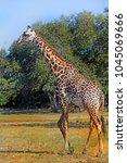 large adult male giraffe ...   Shutterstock . vector #1045069666