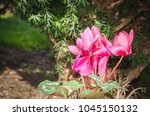Small photo of Purple or pink cyclamen flower (Myrsinaceae Ericales Primulaceae) in the green domestic garden with selective focus and natural background