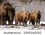 european bison  bison bonasus ... | Shutterstock . vector #1045160332