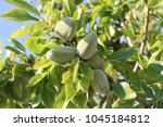 almond tree with green fruits | Shutterstock . vector #1045184812